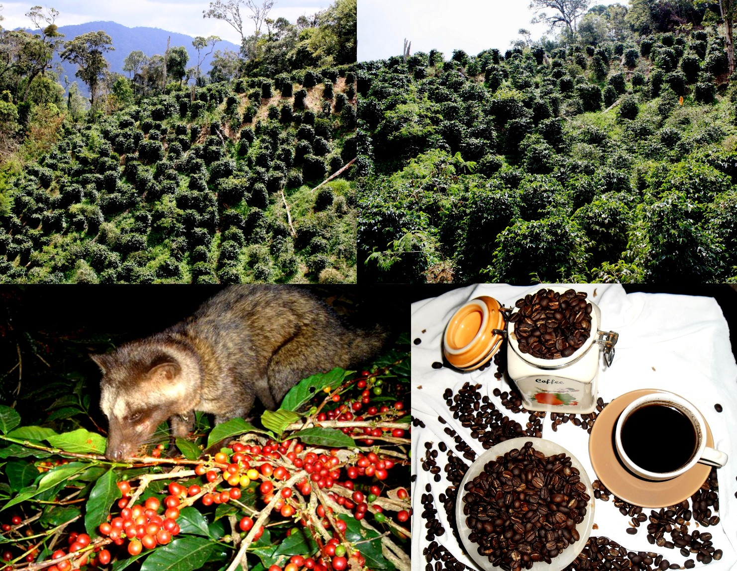 Kopi Luwak , Wild Civets Coffee From Gayo Mountain - Sumatra: Kopi Luwak , Wild Civet Coffee From Gayo Highland Aceh