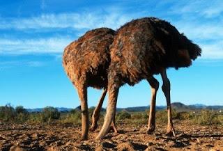 ¿Entierran los avestruces su cabeza ante el peligro?