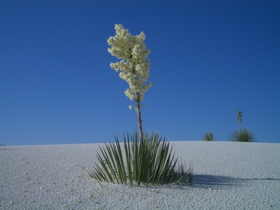 new mexico state flower, yucca glauca, yucca flower, great plains yucca