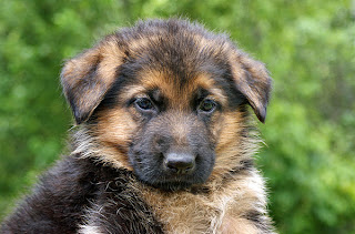 German Shepherd Puppy Pictures