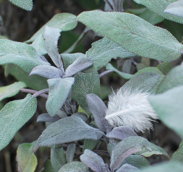 white downy feather resting on sage leaves