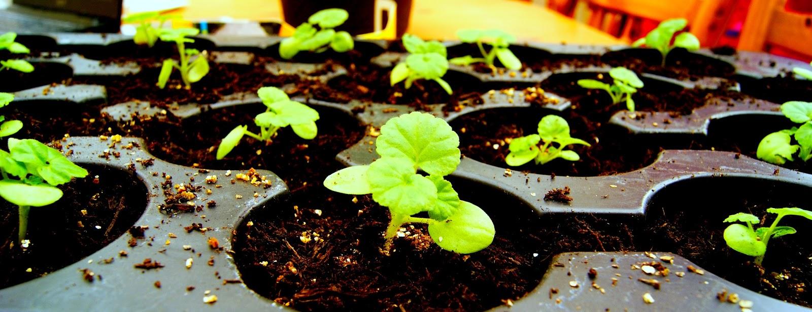 the syders thrifty garden geranium plug plants. Black Bedroom Furniture Sets. Home Design Ideas