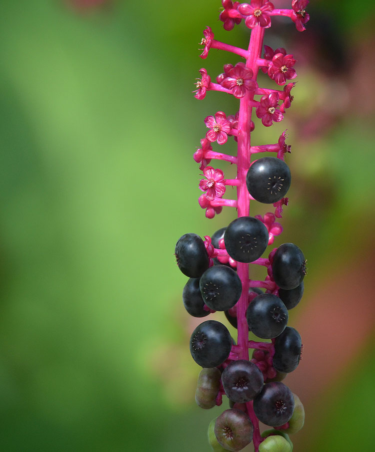 Pokeweed berries are nutritious for birds. Their dark color and beautiful light purple stems are attractive in the garden as well.