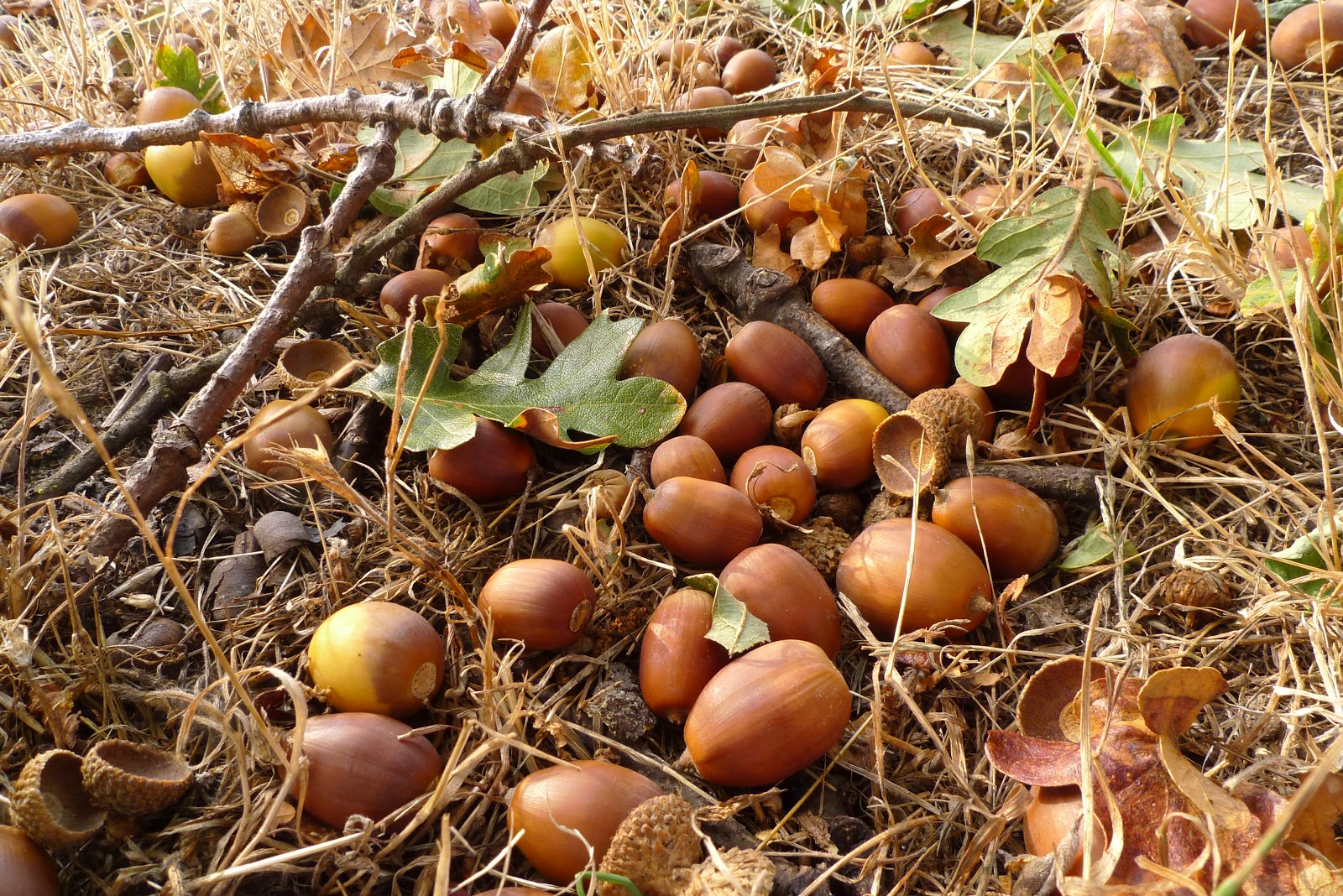 Wild harvests how to eat an acorn for How to preserve acorns