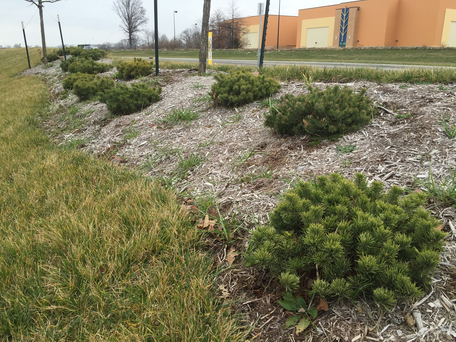 Mugo pine used in commercial landscaping backyard for Commercial landscaping