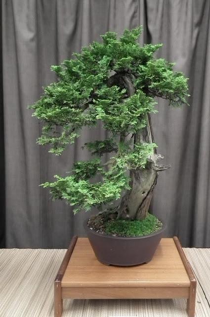 Thuia cascade bonsai - Spring Bonsai Show, Vandusen, Vancouver
