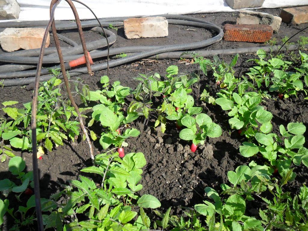Излишки рассады помидоров высадил прямо по подрастающей редиске.