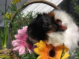 Meerschweinchen verstehen: Meerschweinchen Muck im Kräuterkorb