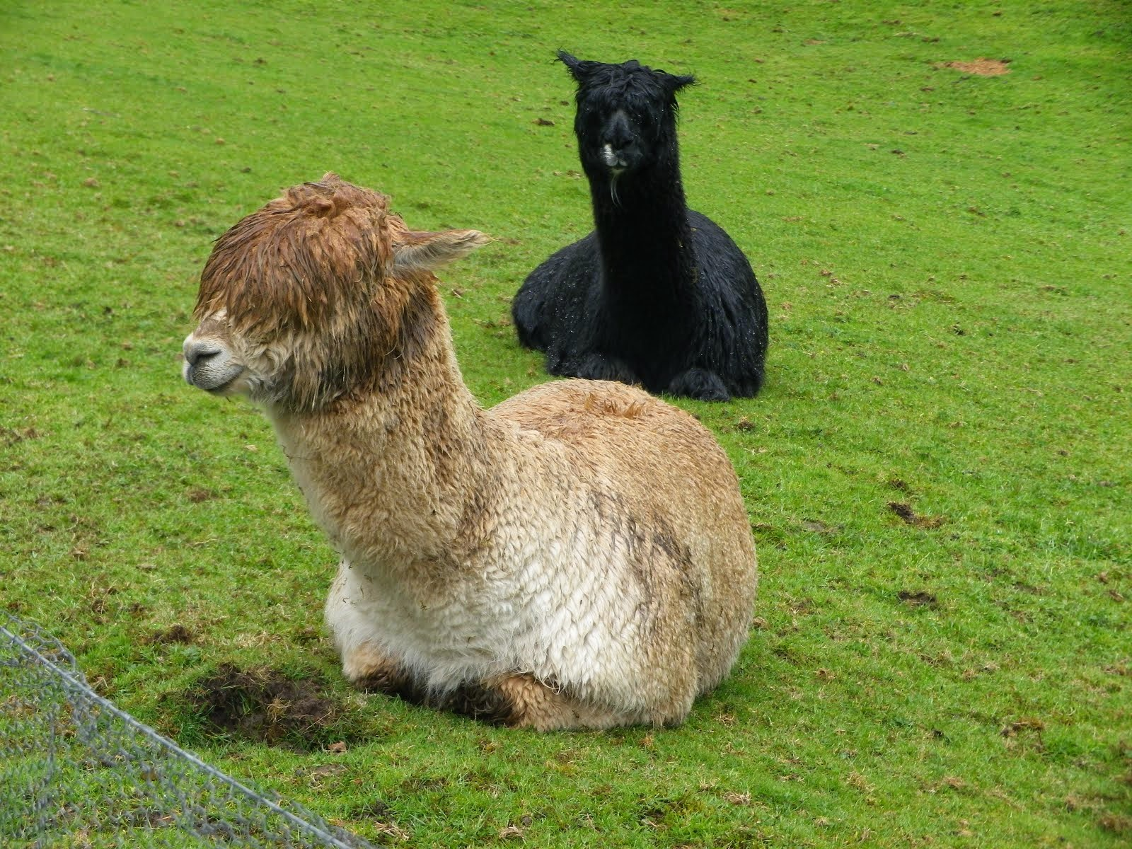 Alpacas at Barony Castle
