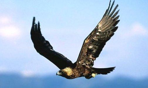 Que significa soñar con un Águila