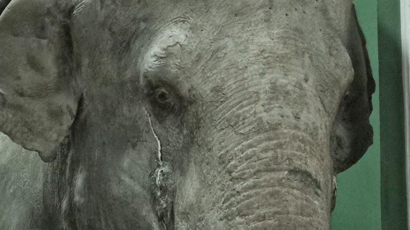 Слон плачет в Зоологическом музее МГУ