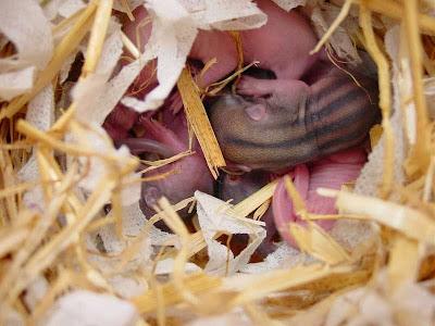 La riproduzione del tamia formazione e alloggio della for Accoppiamento tartarughe
