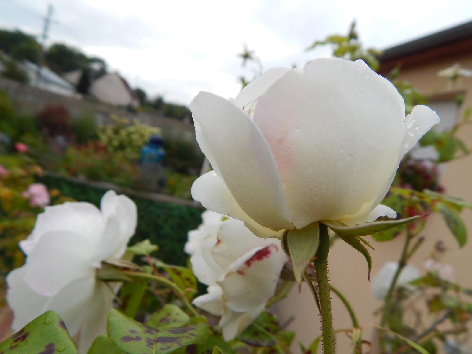Beaut s florales la remont e florale des rosiers quel - Rouille rosier traitement naturel ...
