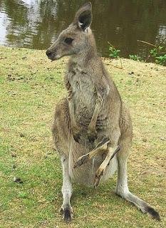 Kanguru mergulha de cabeça na bolsa