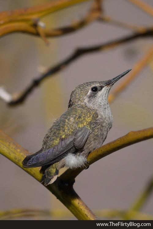 Resting Baby Hummingbird