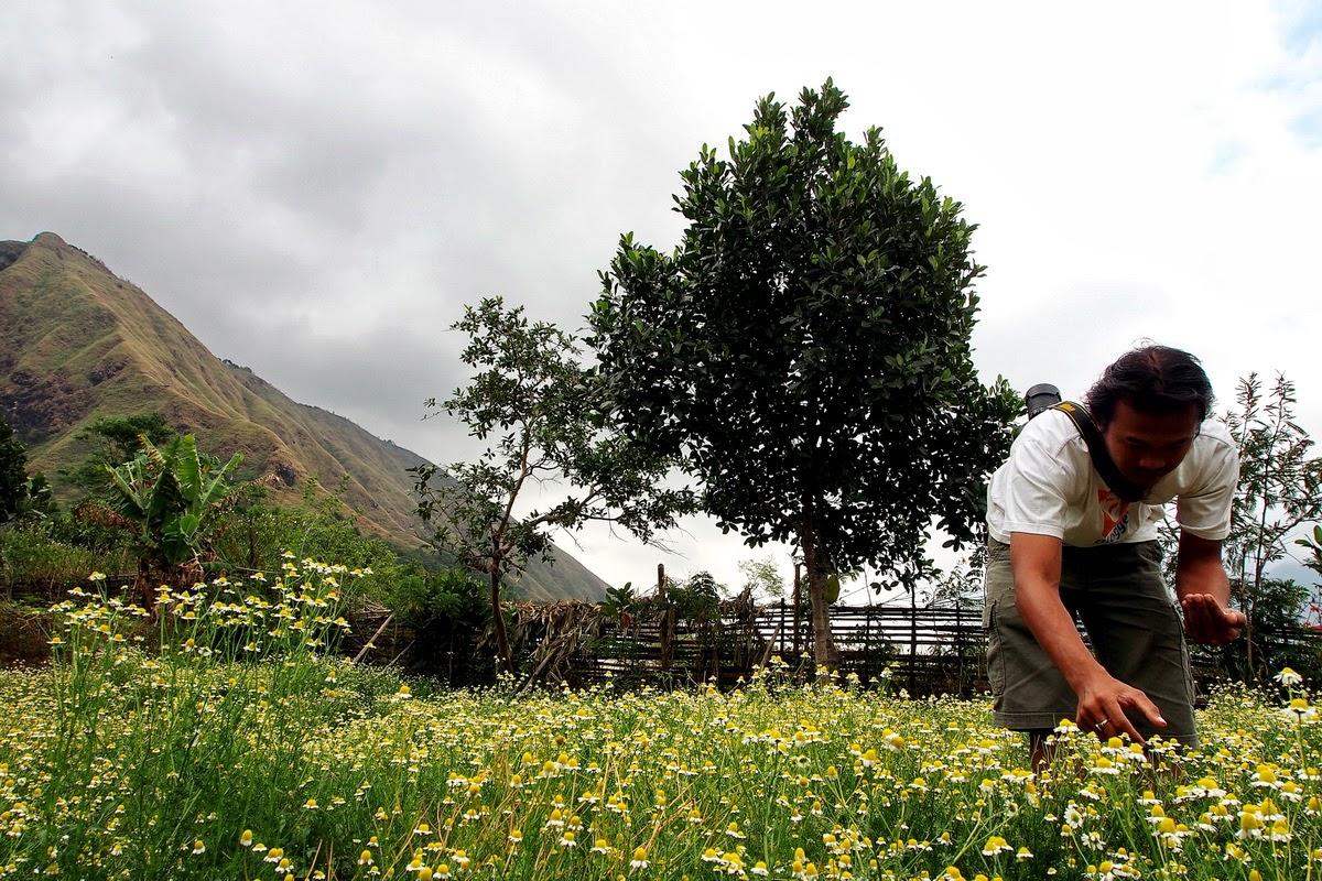 Kebun chamomile