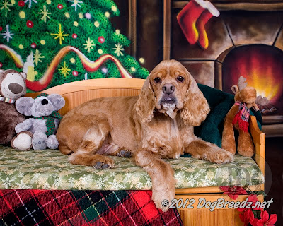Sunny the American Cocker Spaniel looks all cozy this Christmas in his brand new furever home.  And to all a good night!