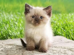 Los Mejores Gatos para la Familia