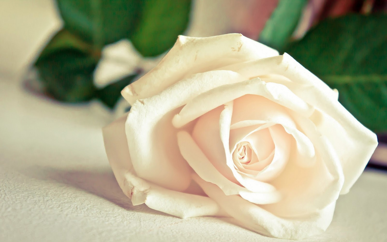 new white rose flowers wallpapers entertainment only