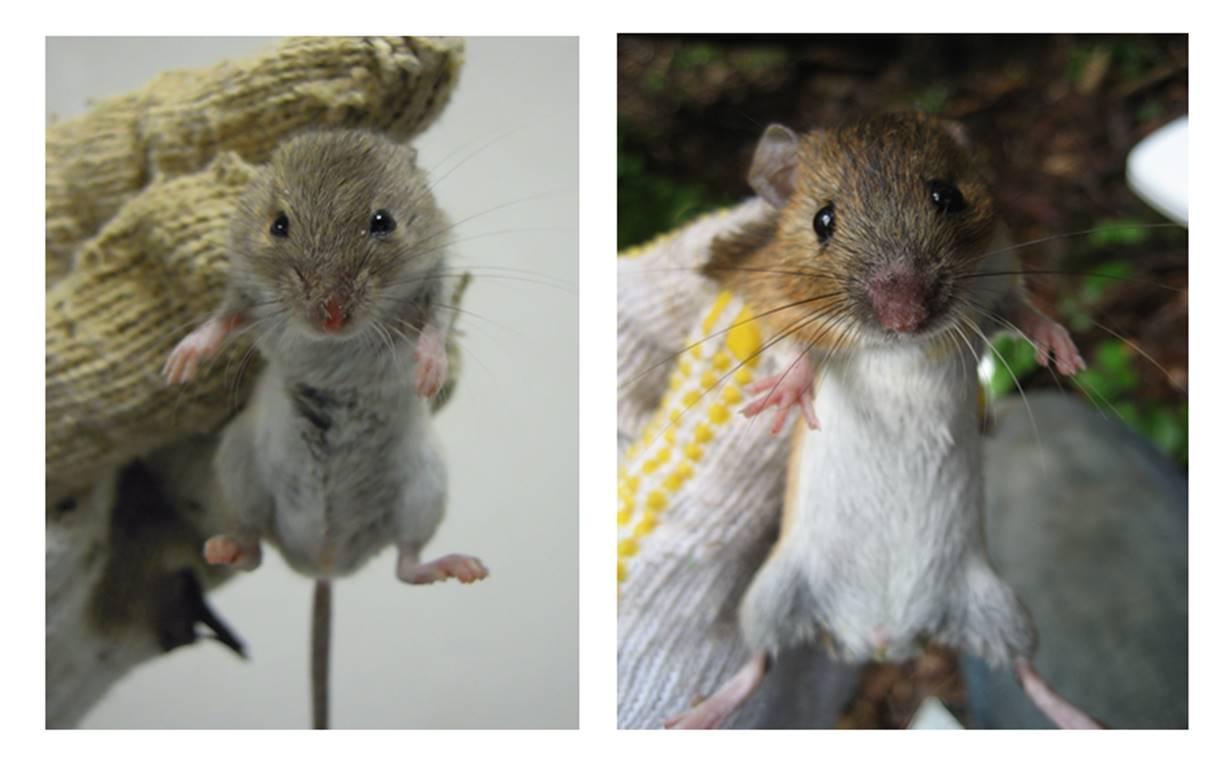 ヒメネズミの画像 p1_17