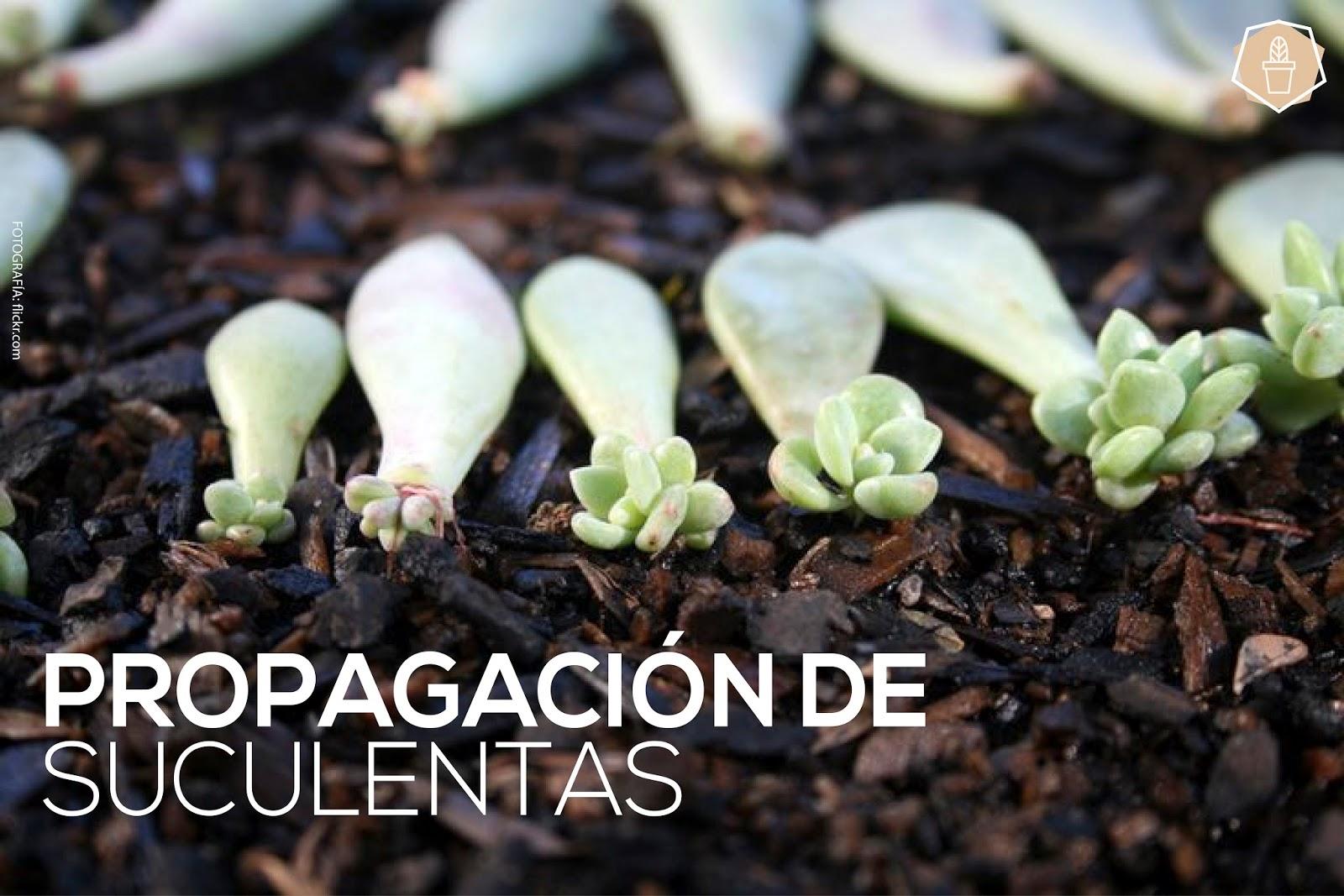 Propagaci n de suculentas saperes for Plantas suculentas colgantes