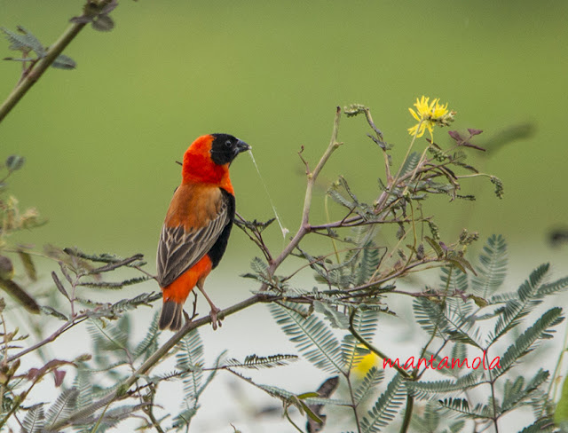 Red Bishop (Euplectes orix)