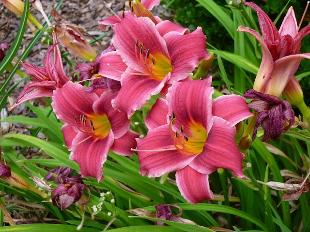Hemerocallis, Daylilies, unknown variety (Rosy Returns?)
