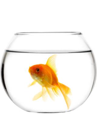 La terra di mezzo un pesce solo nella vaschetta diventa for Vaschetta per pesci rossi prezzi