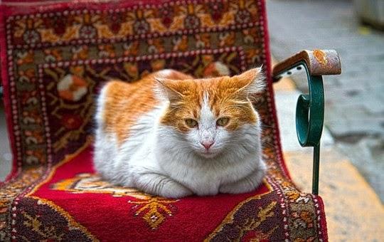 cat of istanbul turkey