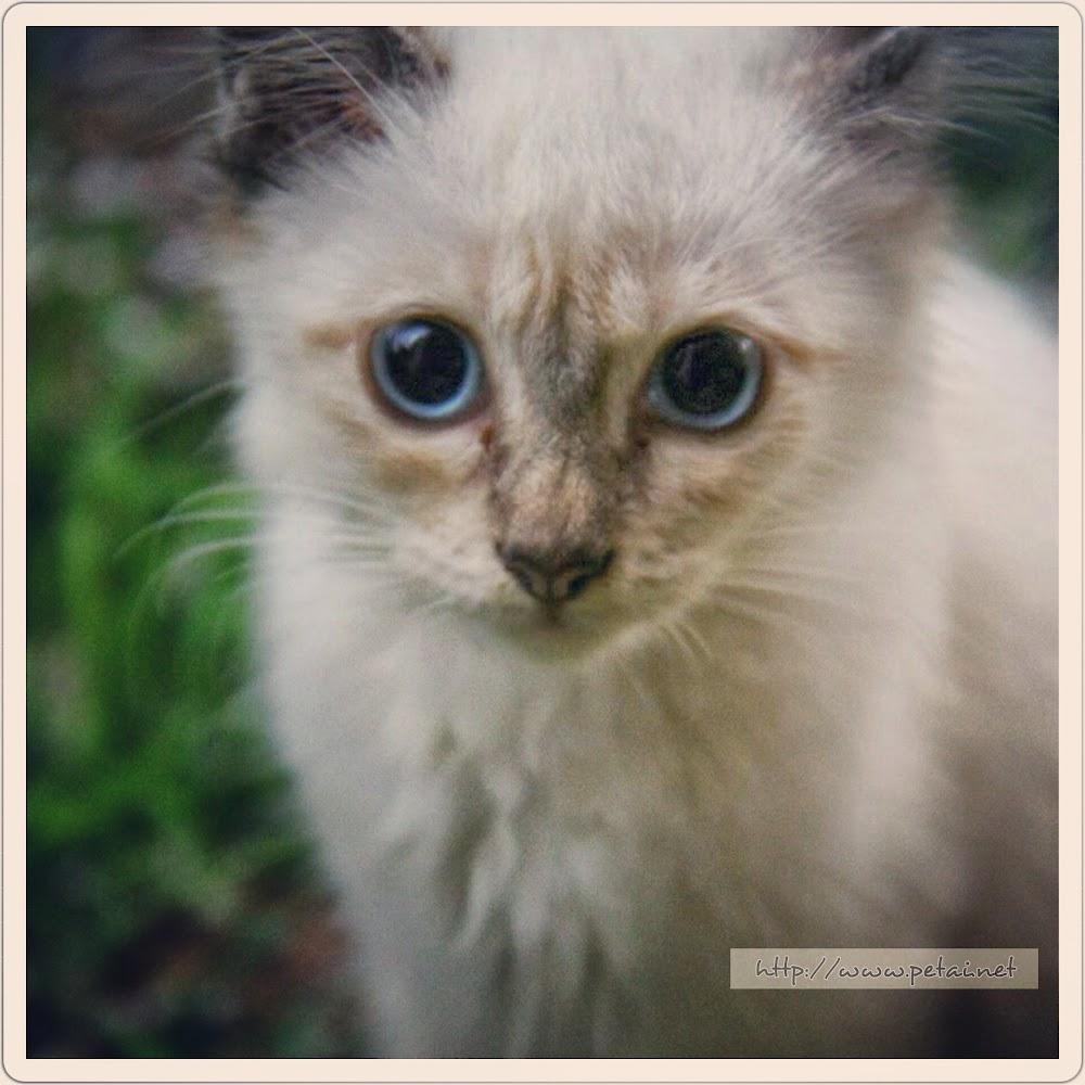 Kucing Gebu