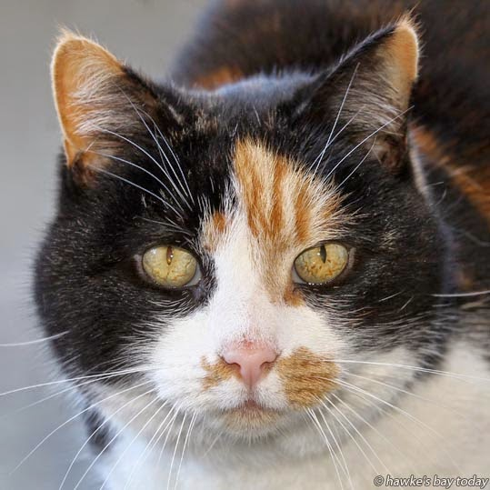 Phyla, a tri-colour female domestic short-haired cat - Adopt a Pet at Napier SPCA, Napier photograph