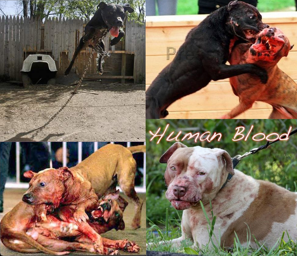 ... and Dogfighting in Illinois: Dec 06, 2012 Dog fight bust in Dolton, IL: pitbullattacksinillinois.blogspot.com/2012/12/dec-06-2012-dog-fight...