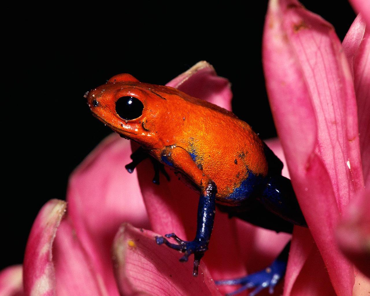 http://3.bp.blogspot.com/-SXQfFj6Uuyg/Tng1vOnsAKI/AAAAAAAAATg/d0NByIZhbwE/s1600/poison-dart-frog-wallpaper-3-724775.jpg