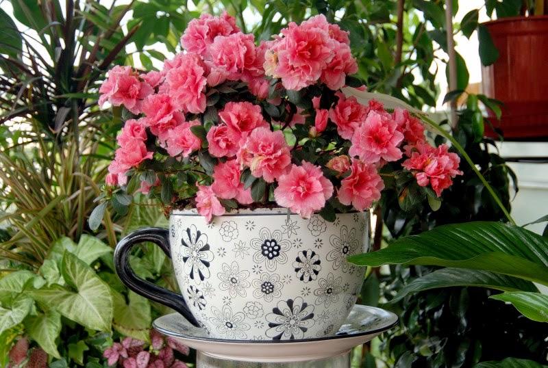 Giardinaggio laura ponte in valtellina azalea indaca - Azalea foglie ...