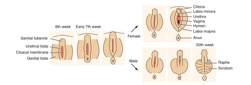 Tiempo de desarrollo del pene