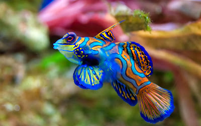 Saltwater a fish blue mandarin pc wallpaper