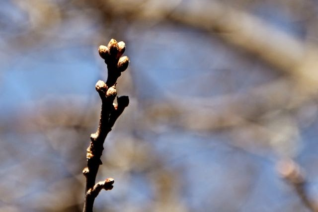 this year's oak leaf buds (April 2015)