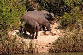 Hippos-Kruger-Park