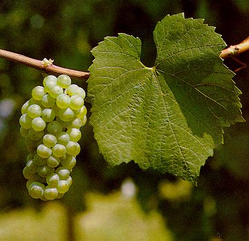 The Sommelier Update Noble Grapes
