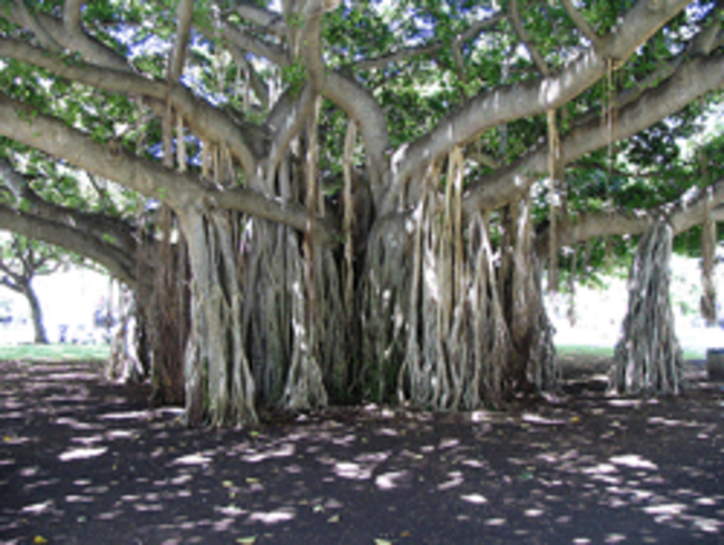 Soup For Our Soul The Big Banyan Tree