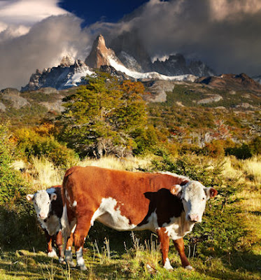 Vacas pastando junto a las montañas en Argentina - Free cows photos mountains and landscapes