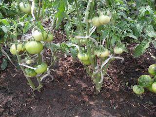 грядка безрассадных помидоров