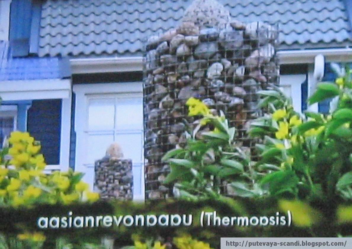 многолетник термопсис