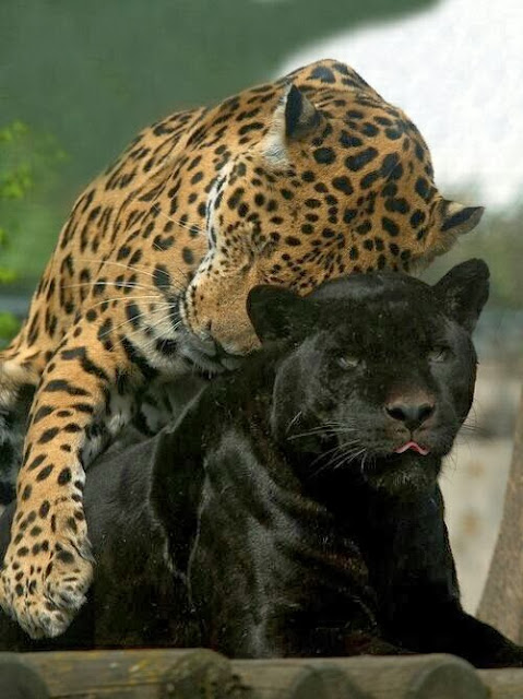 onça-negra