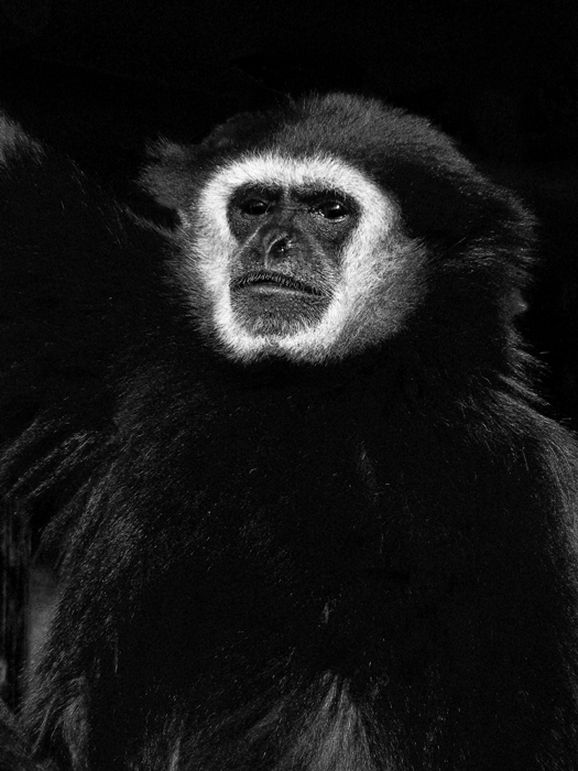 gibão, zoo maia, retrato animal, preto e branco