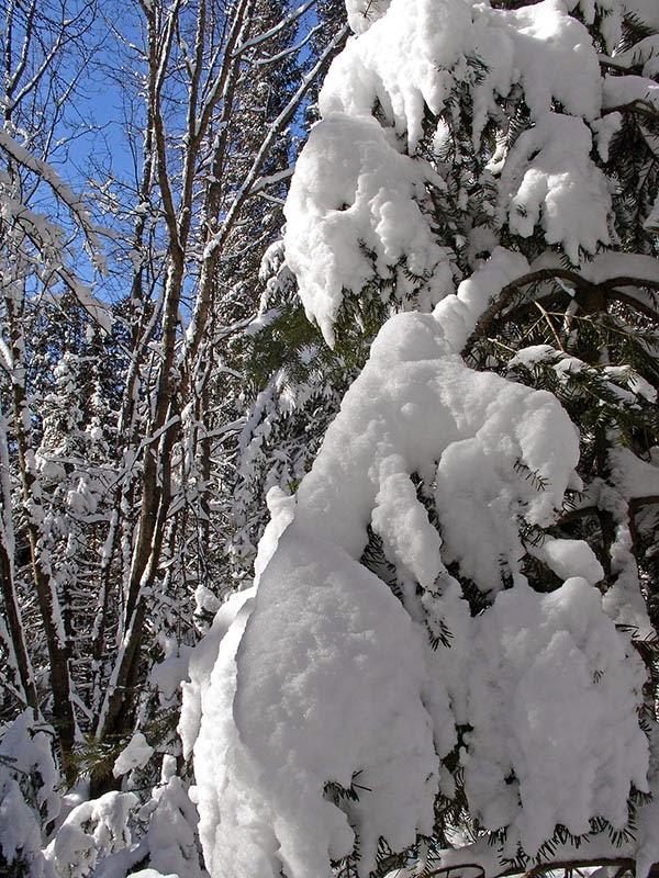 Arbres chargés de neige au Québec