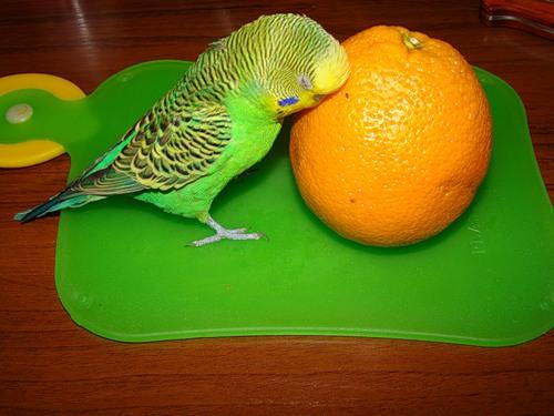 Можно ли волнистым попугаям огурцы