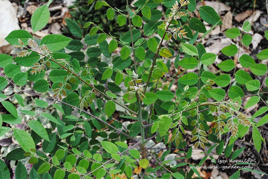 Бундук двудомный (Gymnocladus dioicus)