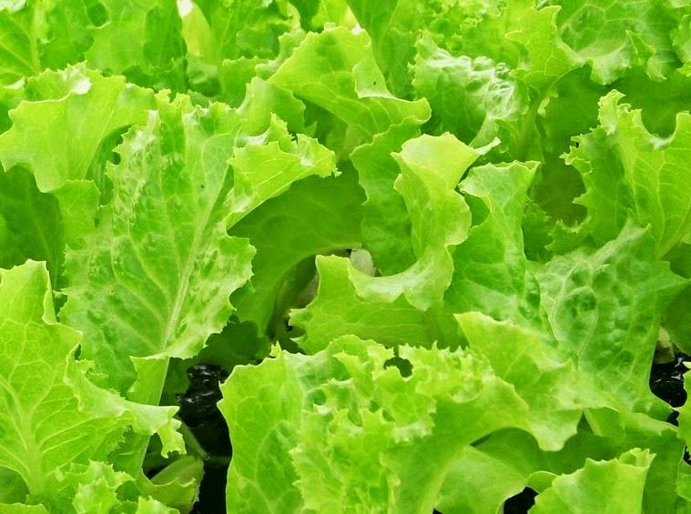 Manfaat Sayur Selada Bagi Kesehatan