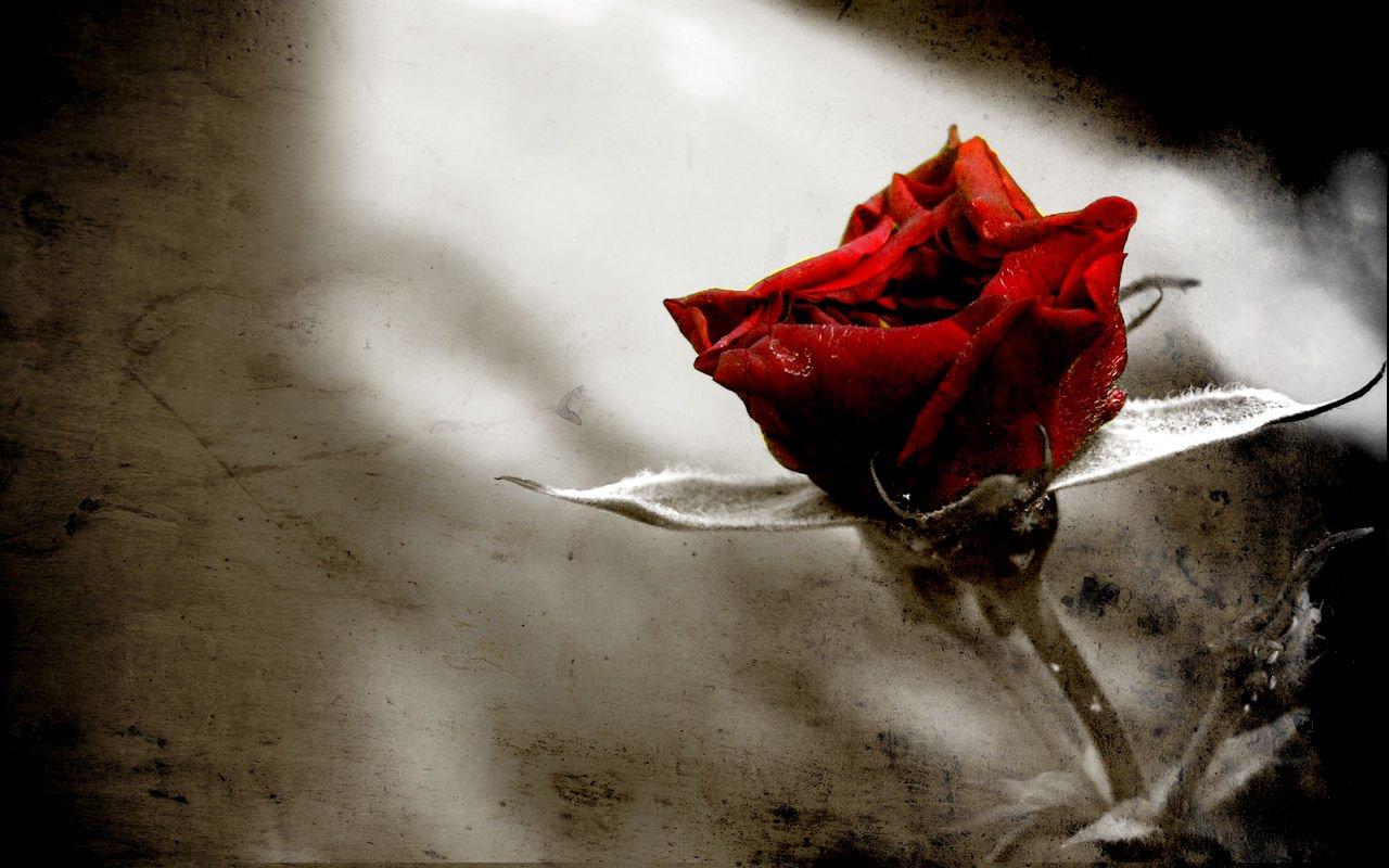Fantastisch rose hintergrundbilder